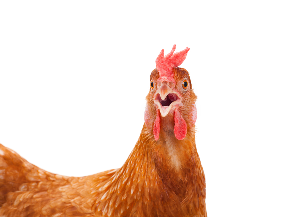 surprised chicken